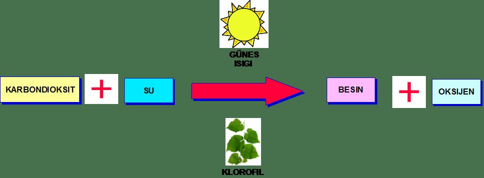 fotosentez nasil gerceklesir