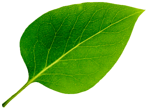 yaprak fotosentez